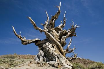 Ancient Bristlecone Pine Tree, California