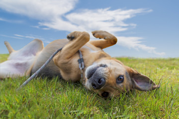 Mixed breed dog rolling in green grass under blue sky in summer