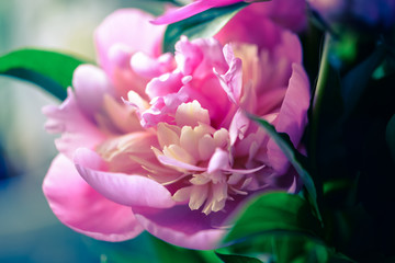 Blossoming peony macro with blurred background for prints, posters, design, covers, wallpapers. Nice garden flower. Spring and summer plants. Artistic photo with fuchsia flower for interior, cards.