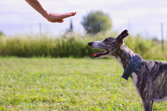 The owner commands her dog. Whippet trains the command to stay.