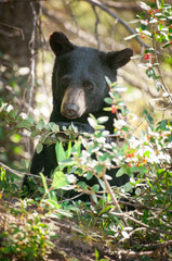 Wildlife: Young black bear in Banff National Park