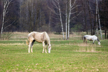 Two horses on green grass meadow