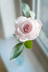 a single pale pink rose in the window