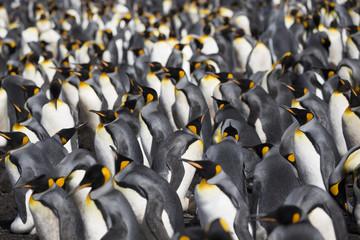 King Penguin's colony at Falkland Island, Volunteer Point