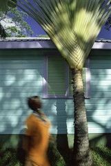 Palm frond in front of shutters on a wooden house, Barbados, West Indies, Caribbean, Central America