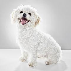 A studio portrait of a white dog