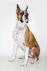 Boxer sitting on a studio floor