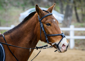 Portrait of a brown horse in a bridle.