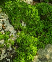 Lichens & Vines