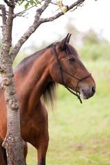 Beautiful andalusian Horse portrait