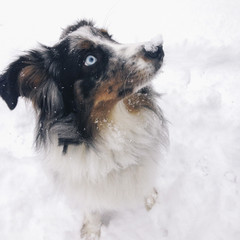 A dog with blue eyes has snow on his nose.