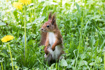 red squirrel standing in green grass with growing dandelions. closeup squirrel on lawn.