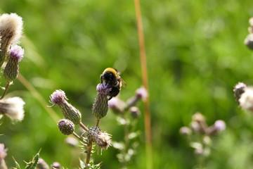 Hummel, Biene, Natur