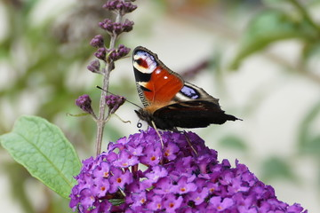 Schmetterling, Natur, Blume