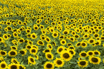 Field of blossoming sunflowers, many, background