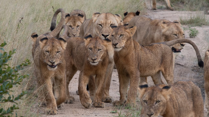 Large pride of lions in Sabi Sands Game Reserve, part of Kruger National Park in South Africa.