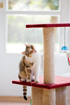 Tabby cat chewing string on scratching post