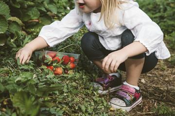 Little girl picking strawberries