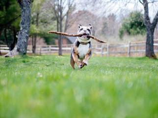 English bulldog runs through the backyard with a stick in its mouth