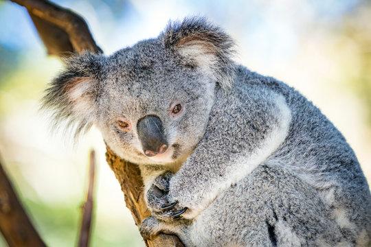 Koala in a Eucalupt tree Australia