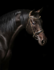 Portrait of a bay stallion