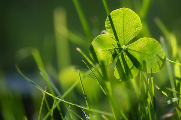 Four leaf clover or shamrock growing in the green grass, morning backlight, symbol for luck and fortune, closeup with copy space in the blurry background
