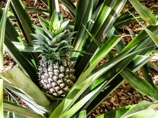 Pineapple bush