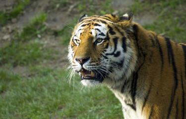 Ritratto di una tigre siberiana