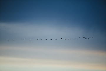 Sandhill cranes flying in formation across blue sky, dusk, Othello, WA