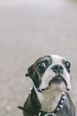 Portrait of Boston Terrier Dog with Spiked Collar