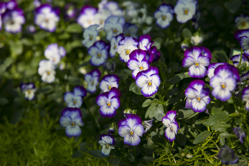 Colorful White and Purple pansy flowers. Nature background.