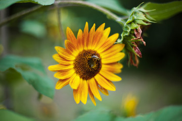 Bee pollinating sunflower (Helianthus)