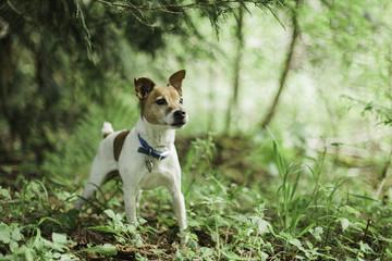 Jack Russell Terrier In Woods