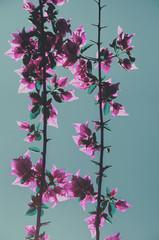 Vibrant pink flowers bloom; floral background