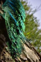 Majestueux paon plume bleu vert