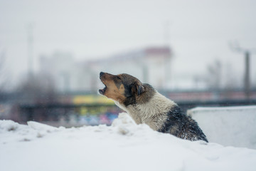The yard dog sits in the snow in winter. The dog howls from the cold and hopelessness.
