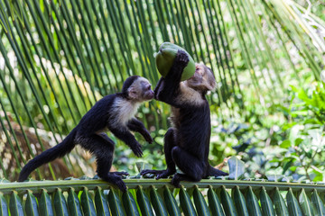 White-headed capuchin in Manuel Antonio National Park, Costa Rica