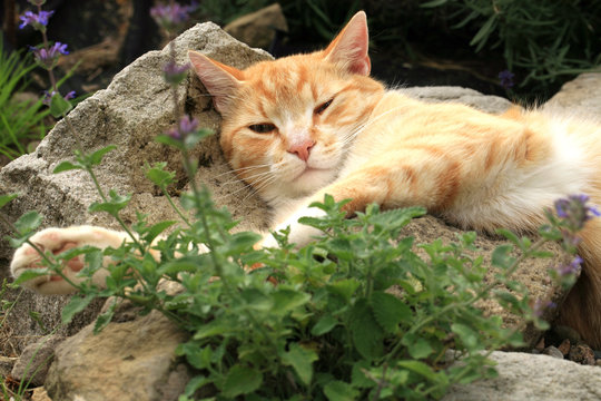 Ginger cat under the influence of catnip. Domestic cat junkie.