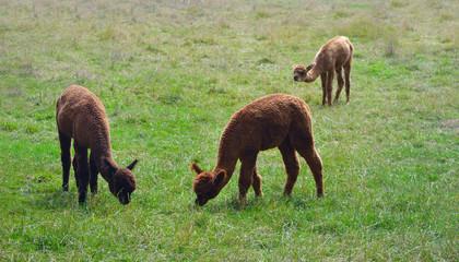 Alpacas in field eating grass