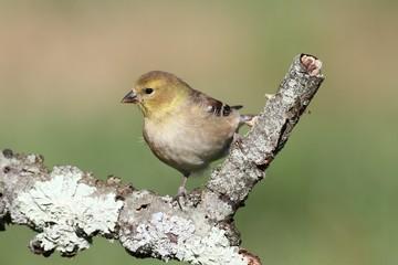 Fotoväggar - American Goldfinch (Carduelis tristis)