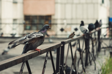 Pigeons sit on an iron fence in the courtyard of a multi-storey building. City courtyard.