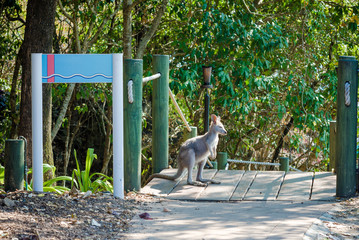 A small kangaroo or wallaby stands and looks aside in the national park of Australia