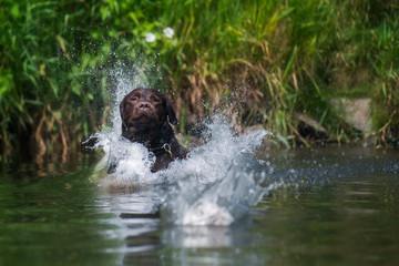 Labrador im Wasser