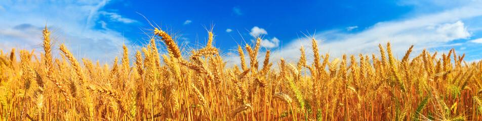 Panorama of wheat