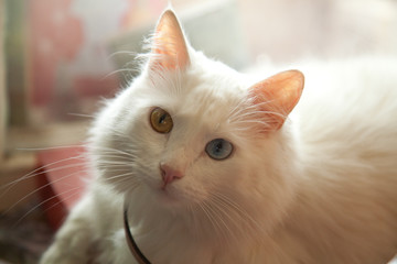 heterochromia white cat