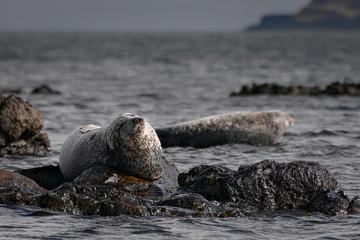 Grey Seals (Halichoerus Grypus) on Shore of Scotland, United Kingdom