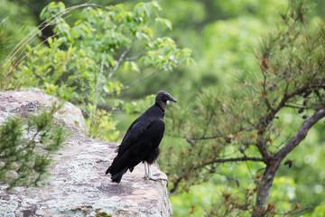black vulture buzzard bird perched on mountain ledge