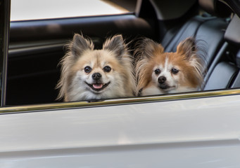 wo cute little dogs looking out the window of a car waiting for their owner