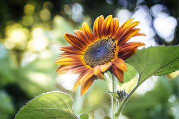 Autumn Sunflower - Sunflare