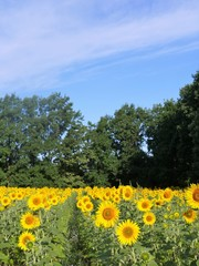 Field of sunflowers in the morning